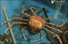 "A spider crab molting its shell in one piece: | 36 Gifs That'll Make You Say ""Whoa"" WTF????!!!!! I didn't even know crab did this!!!!!!"