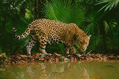 Jaguar at Waterhole, Belize by Frans Lanting