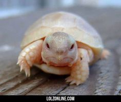 What An Baby Albino Turtle Looks Like