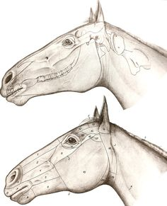 Superficial regions of the head of horse.