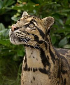 Clouded Leopard by Lee Elvin on 500px.com