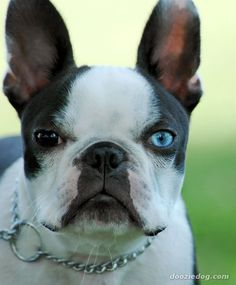 I'm a wee bit obsessed with flat faced dogs - Boston Terriers being my favorites.