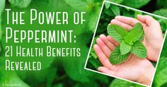 Peppermint is not only a medicinal herb that can make your winter treats flavorful -- here are 21 valuable uses of peppermint you may not know. http://articles.mercola.com/sites/articles/archive/2013/10/14/peppermint-health-benefits.aspx