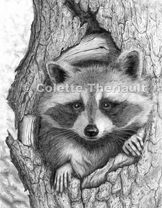 pencil+drawing+raccoon | Raccoon wildlife pencil drawing