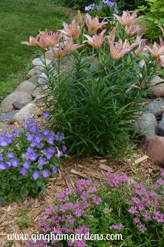 Summer Flower Garden - Pink Asiatic Lilies, Blue Uniform Campanula and John Creech Stonecrop