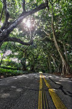 Banyon Tree Canopy