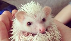 21 cute hedgehogs.