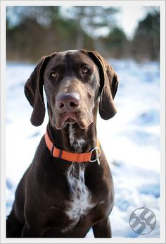 Love the livers. #hunting #dog #1816 #remington