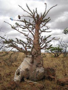 ~ Caudiciforms - Pachypodium lealii in Palmwag. Namibia