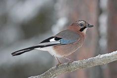 Närhi, Garrulus glandarius - Linnut - LuontoPortti Closer To Nature, Picture Video, Natural Beauty, Birds, Jay, Pictures, Friends, Garden, Naturaleza