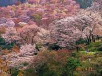 Thousands of cherry blossoms - Yoshino, Nara Pref.