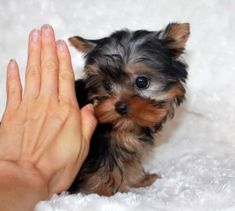 Micro Teacup Yorkie Puppy for sale! Micro Teacup Yorkie, Teacup Poodle Puppies, Mini Poodle Puppy, Teacup Yorkie For Sale, Yorkies For Sale, Yorkie Puppy For Sale, Poodle Puppies For Sale, Buy Puppies, Yorkie Puppies