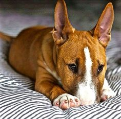 Lil Bull Terrier Tattoo Bull Terrier, Bull Terrier Puppy, Pet Dogs, Dogs And Puppies, Dog Cat, Corgi Puppies, Weiner Dogs, Doggies, Beautiful Dogs