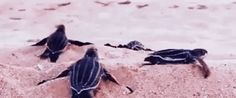 Baby Sea Turtle Hatching Season - Hilton Head Island South Carolina USA