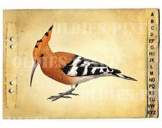 Upupa Epops Common Hoopoe Bird Drawing Instant by OldiesPixel