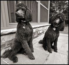 """*Winnie* and *Pooh* - Chocolate Standard Poodles"" ---- [These two are litter mates. Winnie is the darker female on the right. They are so well behaved and absolutely beautiful to watch run together.]~[Photograph by dog ma (Jody) - February 8 2008]'h4d'121213"