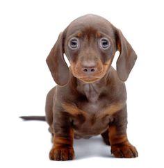 This cute Dachshund puppy wants a hug
