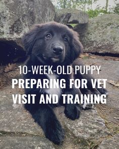 Raising a puppy isnt easy! Here is a quick guide to raising a 10-week-old puppy including tricks on preparing your puppy for its first vet visit! #puppytraining #puppy #dogtrainingtips Leash Training, Dog Training Tips, Puppy Schedule, White Border Collie, How Did It Go, Aussie Puppies, Collie Puppies, How To Train Your, Fleas