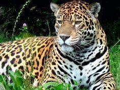 jaguar cat - Pixdaus; see more pics on my WILDLIFE Board.