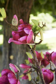 Pure Nature : Magnolia
