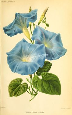 flowers-29530  ipomoea blue flower digital illustration