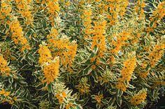 "Lysimachia punctata 'Alexander' 18-24"" sun to shade July August"