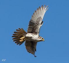 Prairie Falcon by Chan Dai