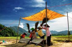 Romy Romaldus: Saat panen padi di cikalahang kabupaten cirebon.
