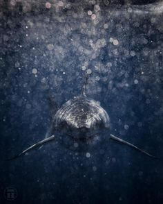 """""""Stealth"""" an image from new series on the Great White Shark cal. Shark Pictures, Shark Photos, Beautiful Creatures, Animals Beautiful, Cute Animals, The Great White, Great White Shark, Orcas, Save The Sharks"""