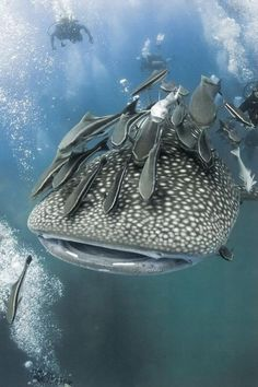 The whale shark (Rhincodon typus) is a slow-moving filter feeding shark and the largest known extant fish species. Love all the remoras attached to this one :)