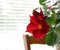 Tropická kráska – Dipladénie