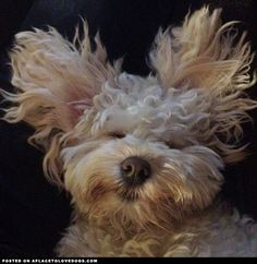 """Sleeping Schnoodle - """"My sweet sleeping Schnoodle, Louis, takin' it easy."""" [Submitted by Abigail H]"""