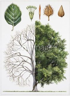 I just found an amazing  article from Wylde Stone Cottage which shows 15+ trees that you can grow and their uses there parts for homemade medicines. This is a great article and I…