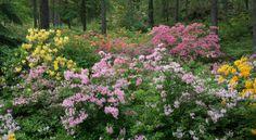 Mustilan arboretum atsalearinne Plants, Plant, Planets