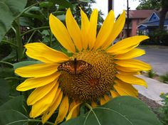 Sunflower visited by variegated fritillary.