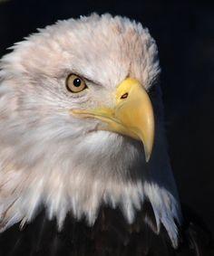 Eagle Mountain Sanctuary- beautiful bald eagle in Pigeon Forge, TN at Dollywood Theme Park November 25, 2011