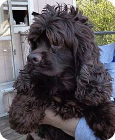 Cocker Spaniel Dog for adoption in Crump, Tennessee - Buttercup