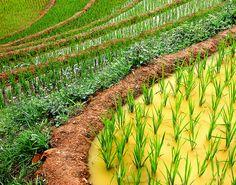 Close up of Sapa rice fields