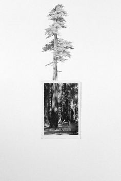 Drawing with Vintage Photo - Redwood Tree. $350.00, via Etsy.