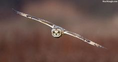 Short-Eared Owl by Max Waugh on 500px