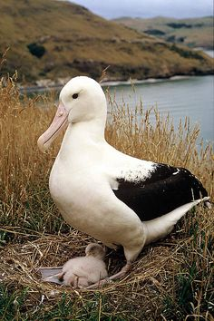 Northern Royal Albatross WWF works to protect petrels and albatross and a host of other threatened native New Zealands species Pretty Birds, Love Birds, Beautiful Birds, Animals Beautiful, Cute Animals, Sea Birds, Wild Birds, Mundo Animal, Exotic Birds