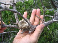 hummer nest Hummingbird Nests, Hummer, Recherche Google, Cactus, Image, Nest, Human Height, Lobsters, Hama