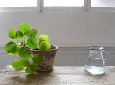 """Chinese Money Plant""  I need this for my house...aka PILEA PEPEROMIOIDES"