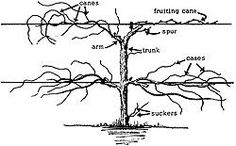 Pruning Grapes - great description of the anatomy of a grape vine & the different ways to support vines.