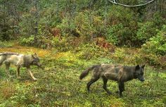 Pacific Rim National Park Reserve visitors urged to keep distance from wolf pack showing little fear of people. Wolves that lose their fear can become a problem should they try to obtain food from humans.