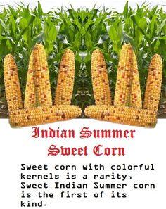 Sweet Indian Summer Corn