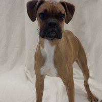 Hi! I'm Fletch, and I'm the sweetest Boxer you'll ever meet - I'm looking for a home, visit me here: http://www.maxfund.org/view-pet-detail/?id=3071
