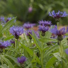 barrenwort Hardy Perennials, Flowers Perennials, Planting Flowers, Perrenial Flowers, Rock Garden Plants, Shade Garden, Rockery Garden, May Night Salvia, Blue Fescue