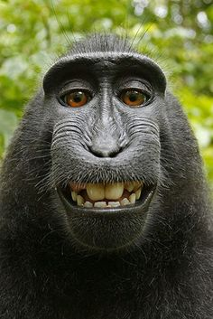 This monkey hijacked the photographers picture, and took a self portrait. He's even smiling!!  #santamonicabaydental