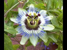 According to folklore, passionflower got its name because its corona resembles the crown of thorns worn by Jesus during the crucifixion. Description from freeplant.net. I searched for this on bing.com/images